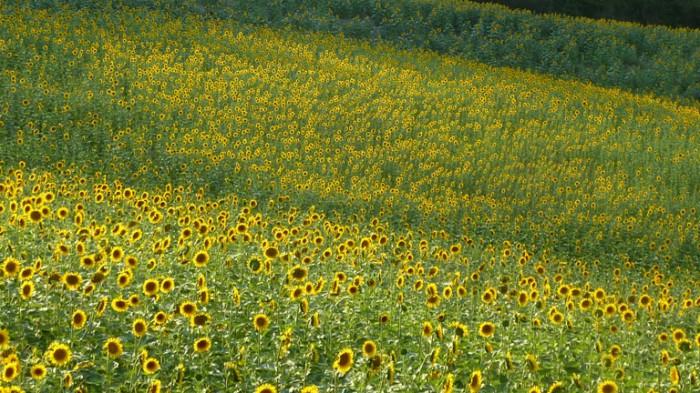 Sunflowers2